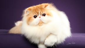 Persa BJ 1- melhor gato 2014
